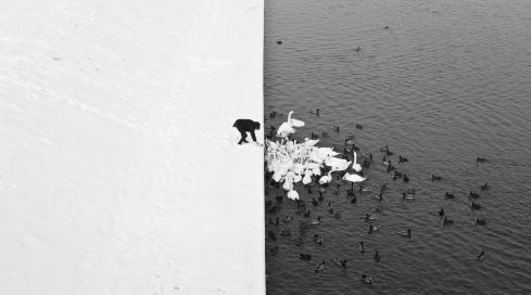 Feeding Swans in the Snow.